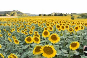 sun flower italy